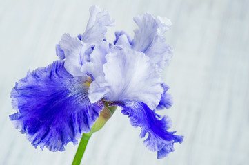 Beautiful iris flower closeup