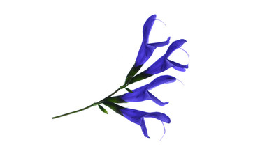 メドウセージはギリシャ神話メドゥーサが語源の花