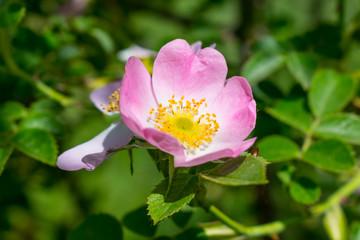 Wild rose closeup