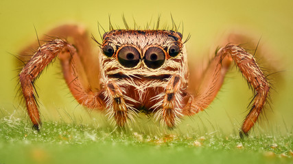 Extreme magnification - Jumping spider