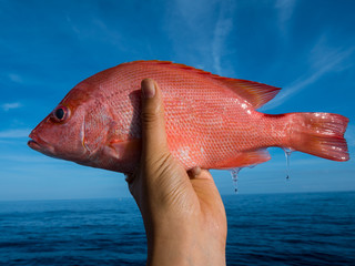 A left hand holding a big fresh red snapper with sea and blue sky background