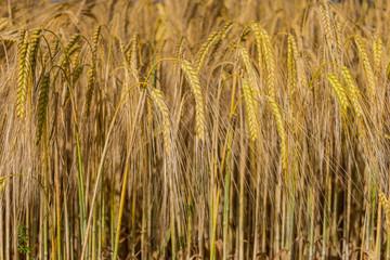 eared corn, field, background, wallpaper, desktop, nature, flora, essential, basic food, wheat, grain, cereals, rick