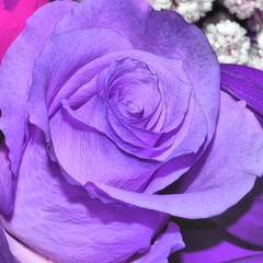 Blue rose closeup. Nature background.