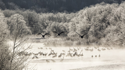 Red crowned cranes from Otowa bridge, Tsurui, Hokkaido, Japan...