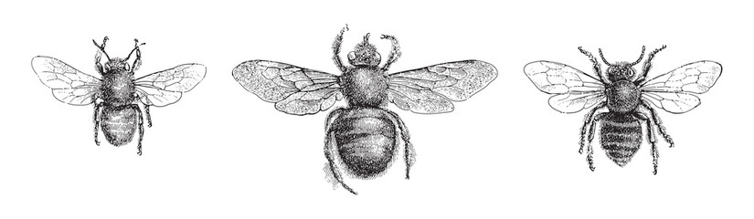 left Chalicodoma muraria, middle Violet carpenter bee (Xylocopa violacea), right Leafcutter bee (Megachile centuncularis) / vintage illustration