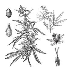 Cannabis sativa / vintage illustration
