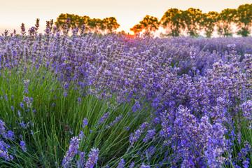 Printed roller blinds Lavender Champ de lavande au lever du soleil, Provence, France