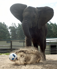 "Elephant Nelly kicks a ball, as an ""animal oracle"" to predict results of the Germany vs Ukraine match at Euro 2016, in the ""Safari Park"" in Hodenhagen"