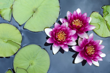 A group of pink pond lilies