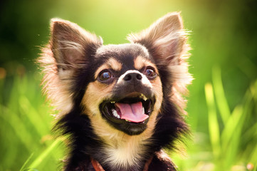 Fluffy chihuahua sit on the green grass