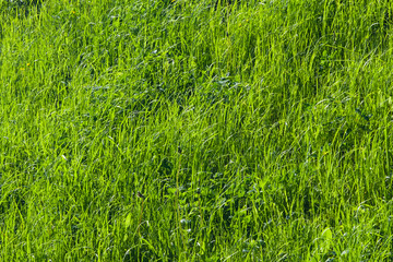 Green fresh grass macro background with bokeh, selective focus, shallow DOF