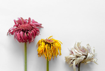 Close up fiori appassiti su sfondo bianco isolato