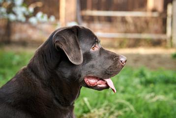A dog labrador, a dog walks, a labrador stuck out his tongue