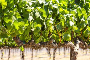Grapevines in the Foxen Canyon Wine Trail region of Santa Barbara County, California USA