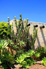 Cacti against the outside walls of Our Lady of Mount Carmel Church in Montecito,  CA, USA