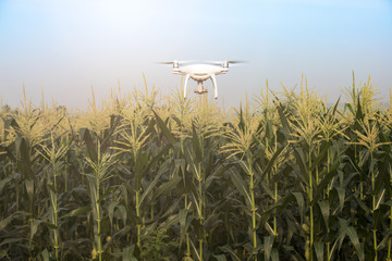 Drone flying at corn field