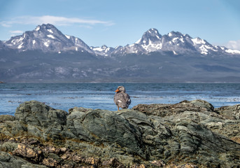 Flightless Steamer-Duck and mountains at Tierra del Fuego National Park in Patagonia - Ushuaia, Tierra del Fuego, Argentina