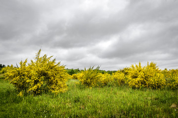 Yellow broom bushes on a green field