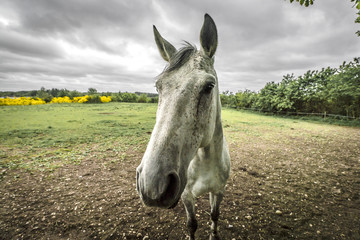 Close-up of a white horse on a rural field