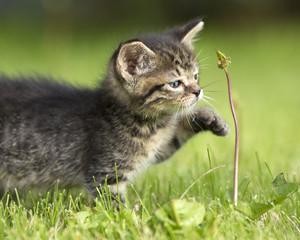 A gray striped kitten