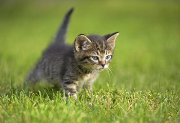 A gray striped kitten