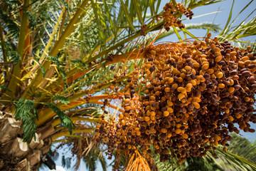 Date palm (Phoenix dactylifera), Turkey