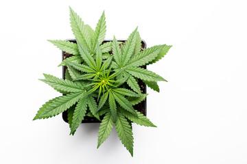 Growing marijuana in the pot