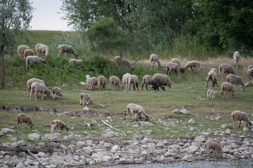 flock of sheep on the Danube