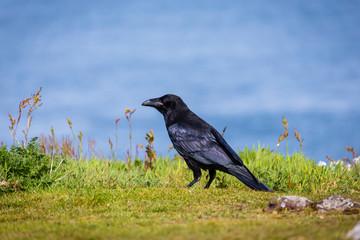 A common raven