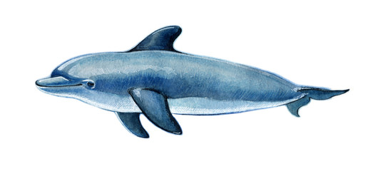 Realistic watercolor dolphin on a white background.