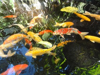 colorful koi fish swimming in a pond A hodge podge of colorful koi fish swimming in a pond