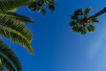Exotic tropical palm tree on darlk blue sky background