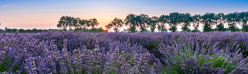 Lever du jour dans un champ de lavande, Provence, France