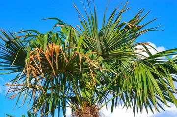 Leaves of phoenix palm tree (Phoenix canariensis) in blue sky