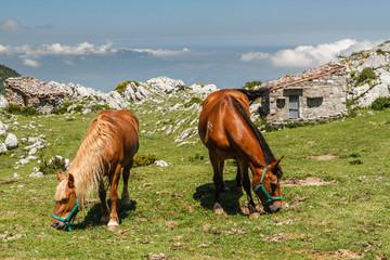 Caballos pastando en la pradera y refugios de pastores. Picos de Europa.
