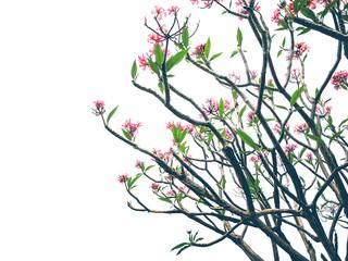 Pink plumeria flowers on white sky background