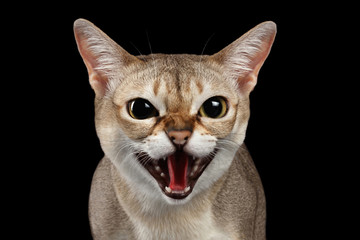 Close-up Portrait of Aggressive Singapura Cat Hisses on Isolated Black background, survival instinct