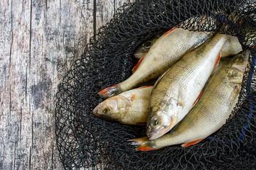 Fresh fish. River perch in the fishing net.