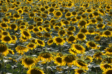 Canvas Prints Sunflower sunflowers