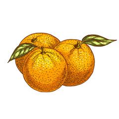 Orange or tangerine fruits vector sketch icon