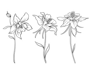 Columbine flowers. Set of outline flowers.Stock line vector illustration. Outline hand drawing coloring page for coloring book.