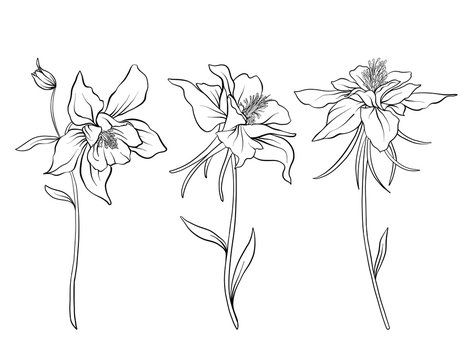 Columbine Flower Photos Royalty Free Images Graphics Vectors Videos Adobe Stock