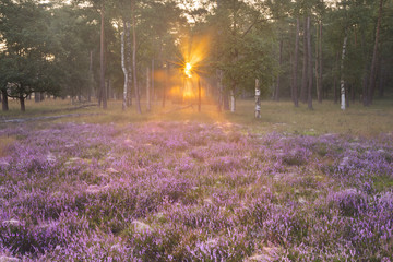 Blooming heather on the edge of a forest