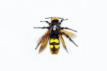 Hornet on white background