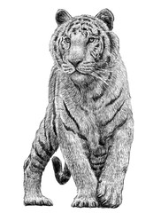 Tiger standing hand draw monochrome on white background illustration.