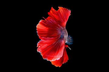betta halfmoon fighting beautiful fish close up