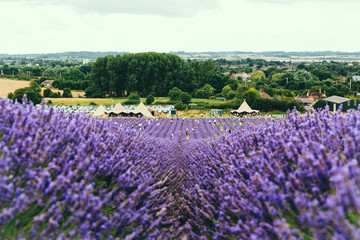 Printed roller blinds Lavender Landscape view of lavender field
