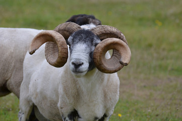 Ram with Large Curling Horns Standing in a Field in Scotland