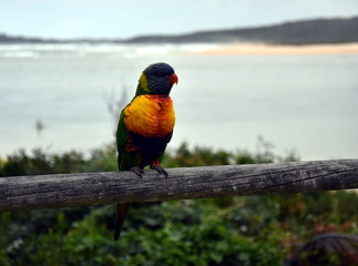 Colorful rainbow lorikeet (Trichoglossus haematodus) on the branch