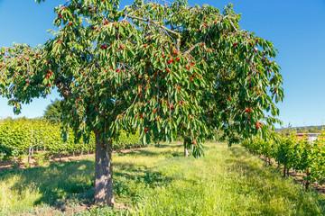 Cherry Tree - Kirschbaum